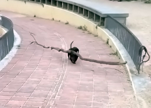 This dachshund takes his job as 'branch manager' very very seriously.,