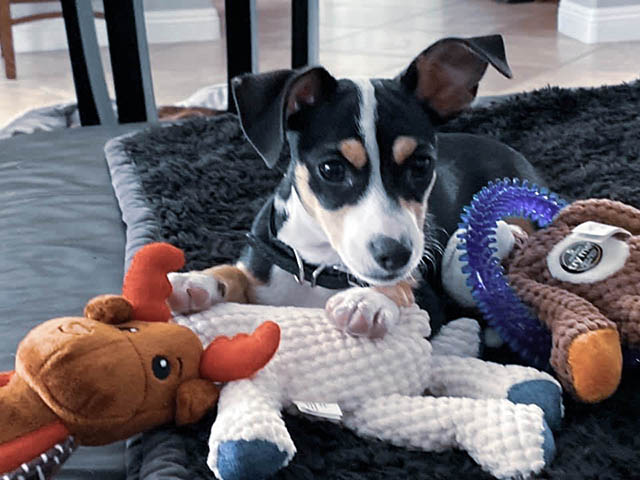 Our puppy Brody sits among his many Christmas toys