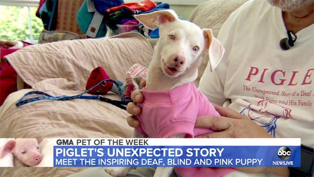 GMA highlights the adorable Piglet, the deaf blind pink puppy